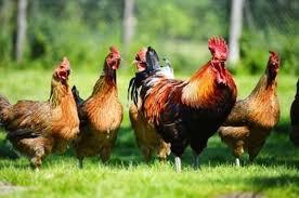 Cara Mempercepat Pertumbuhan Ayam Kampung Agar Cepat Panen