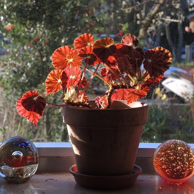 In mijn huiskamerjungle: rood/groene bladbegonia