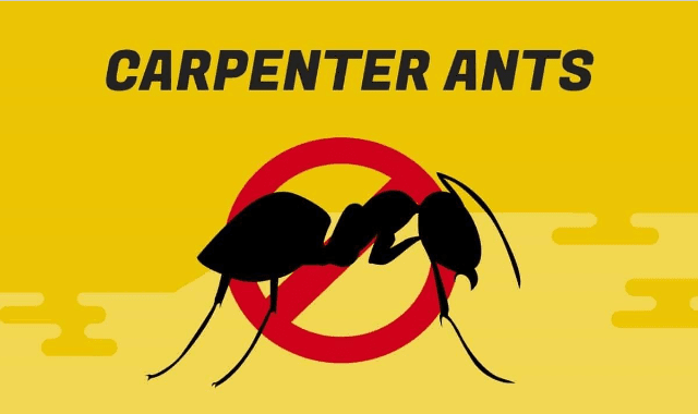 Carpenter Ants: All You Need To Know To Deal With Them