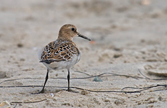 Baird's Sandpiper. Over the shoulder.