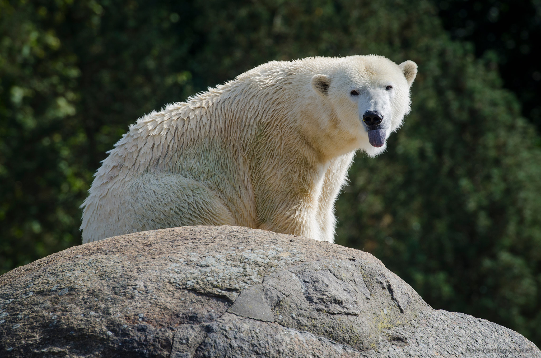 Polar Bear — Zoo Berlin