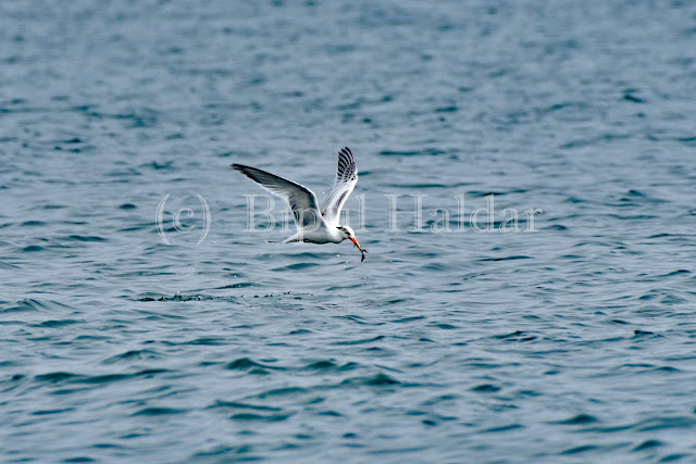 This Tern got a Fish
