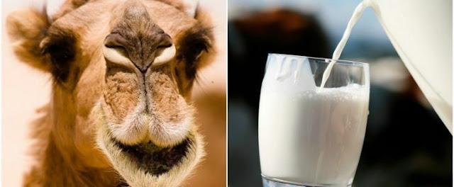 العناصر الغذائيه لحليب الابل