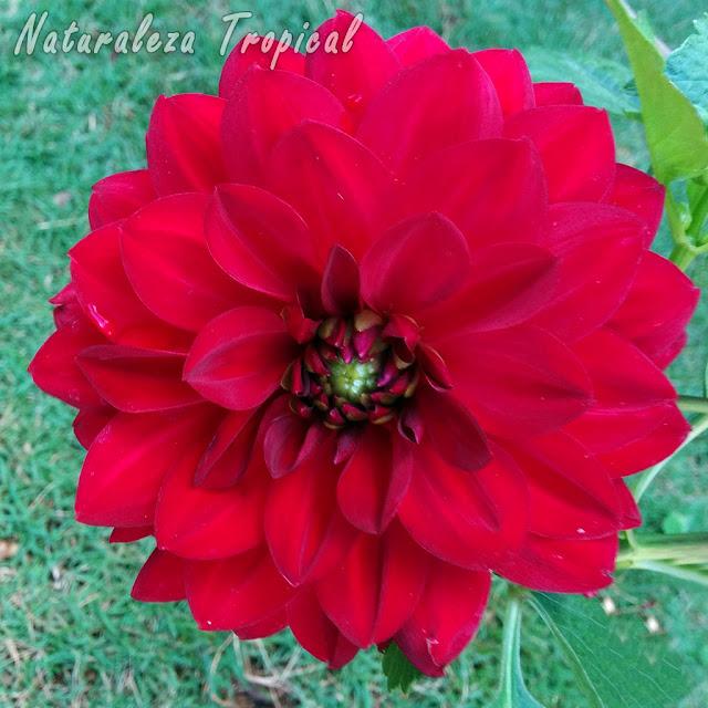 Flor característica en coloración roja de una Dalia, género Dhalia