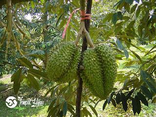 Bunga Durian Rontok