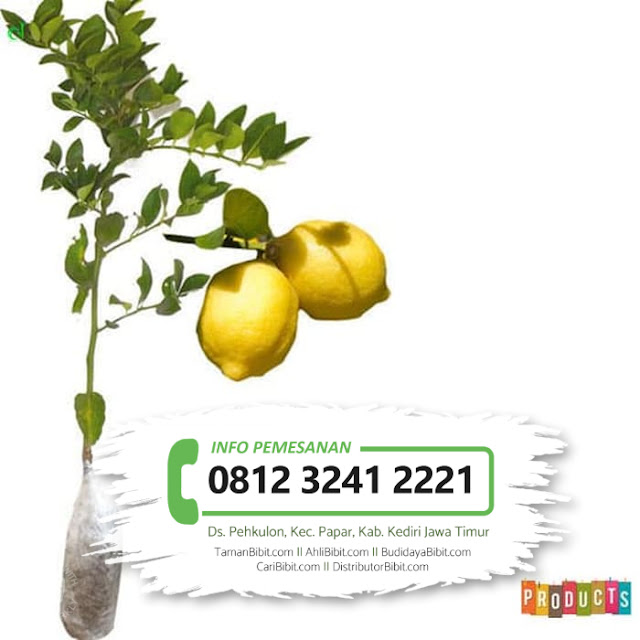 Jual Bibit Buah Jeruk Lemon Amerika