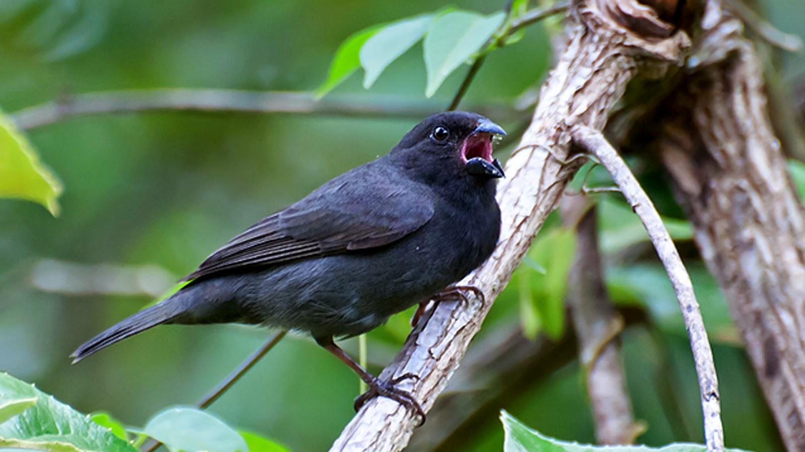 argentinian birds Sooty Grassquit