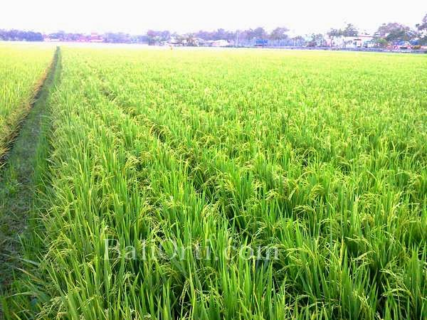 Once upon a time in Bali Indonesia, rice is the main product of agricultural outcomes in Bali