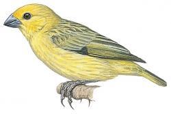 Cuckoo-finch