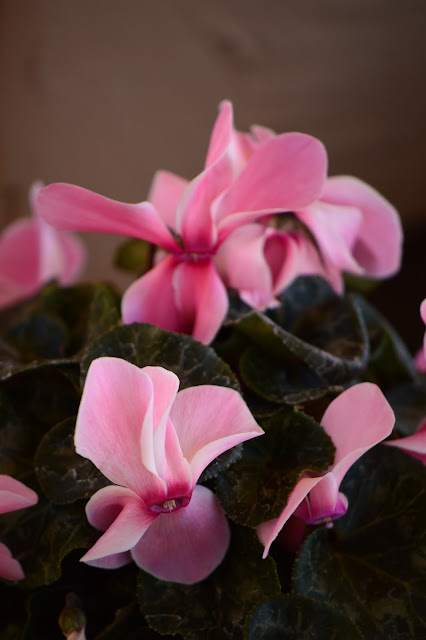 garden bloggers bloom day, gbbd, desert garden, february, small sunny garden, amy myers, cyclamen, florists, persicum