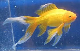 jenis ikan koki Comet goldfish kuning