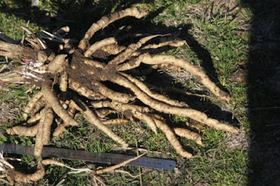 organic skirret plants Australia