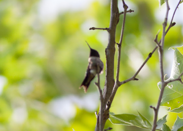 Ruby-throated Hummingbird - Doodletown, New York