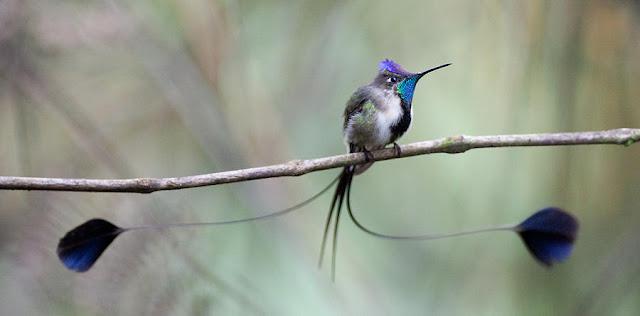 são beija-flores encontrados apenas em uma remota floresta no norte do