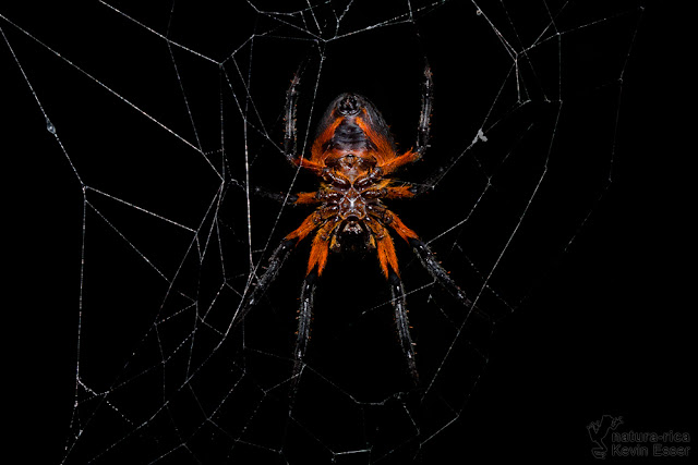 Tropical Orb Weaver - Eriophora fuliginea