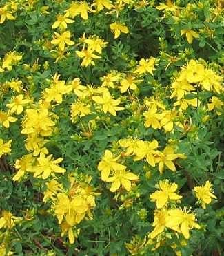 St John's Wort medicinal plant