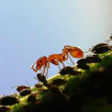 Hormiga y sus cochinillas domésticas