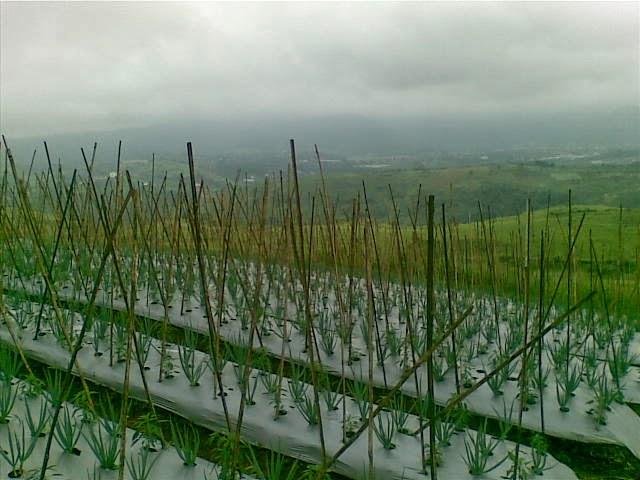 Foto(5200) Jual Tanah Milik | Kebun 23 Ha, Lokasi Puncak jual tanah di puncak