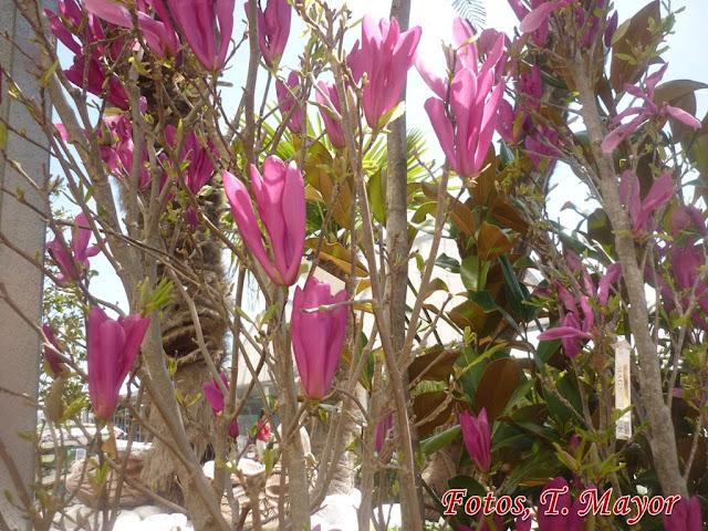 Flores y plantas silvestres magnolia x soulangeana - Abono para magnolios ...