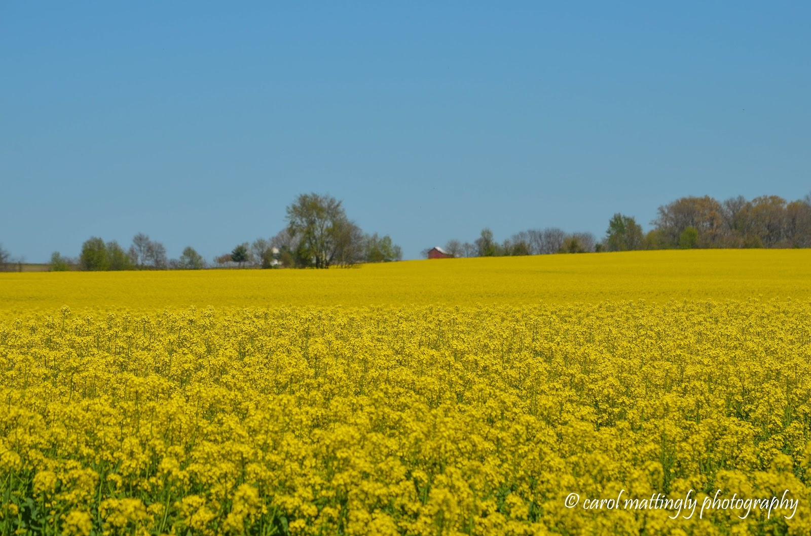 Carol mattingly photography canola fields of northern tennessee welcome to the farms of northern tennessee where the canola seed is one of the main crops grown here within a few short miles of interstate 65 mightylinksfo