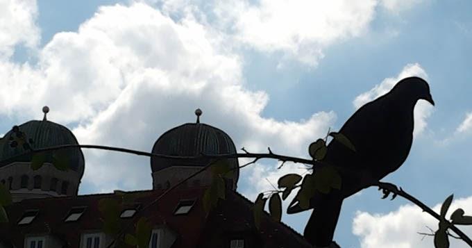 Taube marienhof muenchen juni 2015 foto helga waess