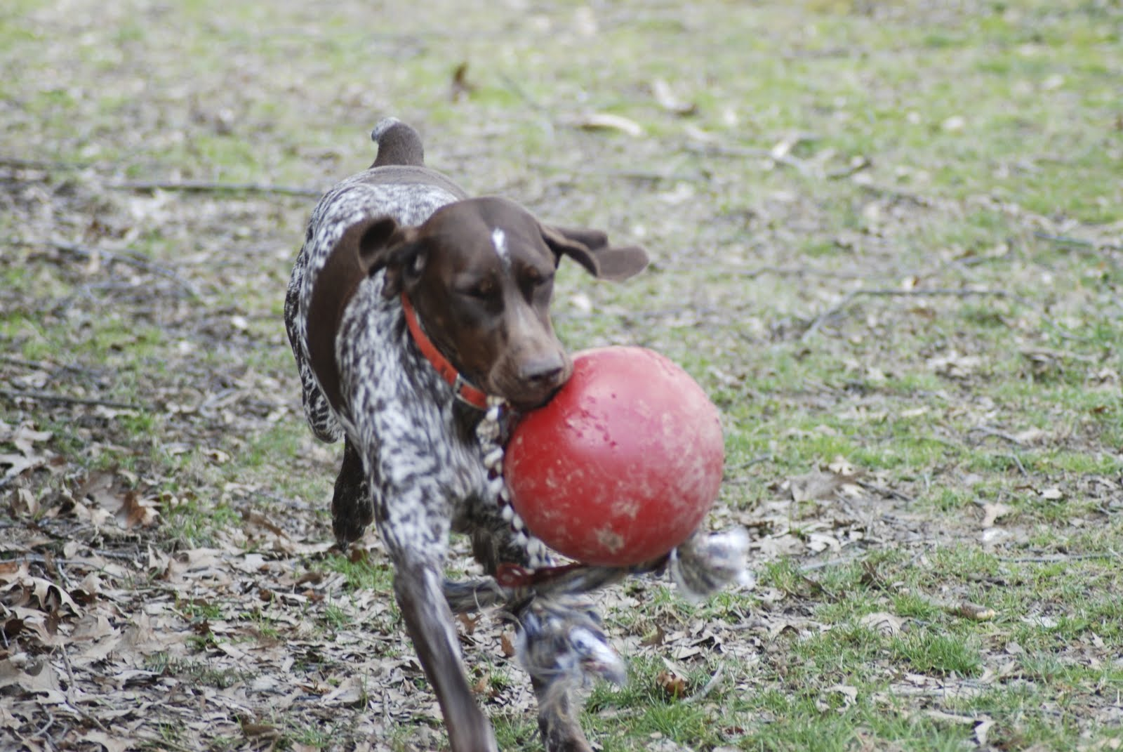 Adventures of a GSP Hunting Dog: What's that AWFUL smell?