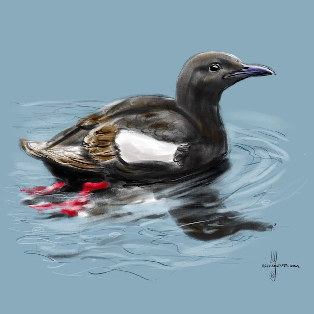 Black Guillemot bird painting by Artmagenta