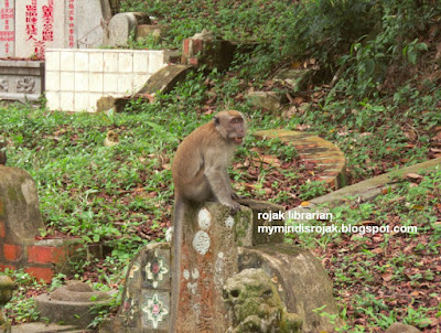 long tailed macaque in Bukit Brown
