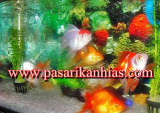 Jenis Ikan Hias Air Tawar Aquarium Dan Harganya