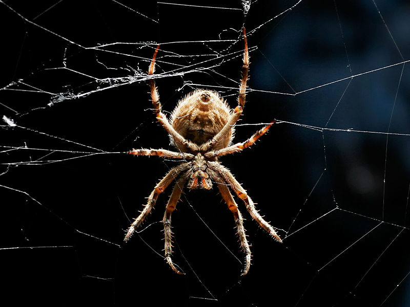 Arachnids: Orb weaver black bckgrnd03 crop