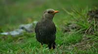Burung Punglor Gunung Gacor Dewasa