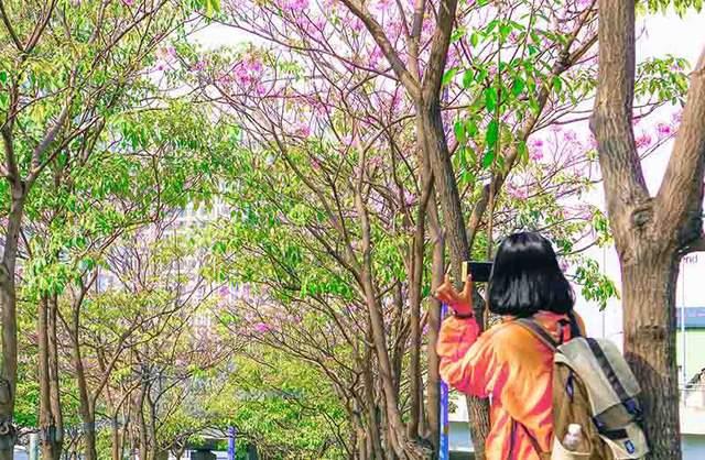 Có một Sài Gòn mộng mơ mùa hoa kèn hồng nở rộ - Ảnh 3