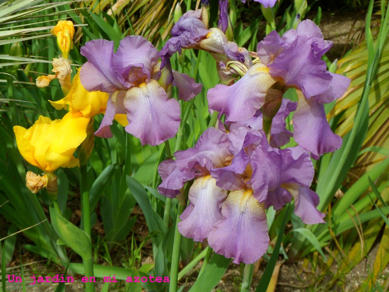 Un jard n en mi azotea primavera de lirios - Un jardin para mi ...