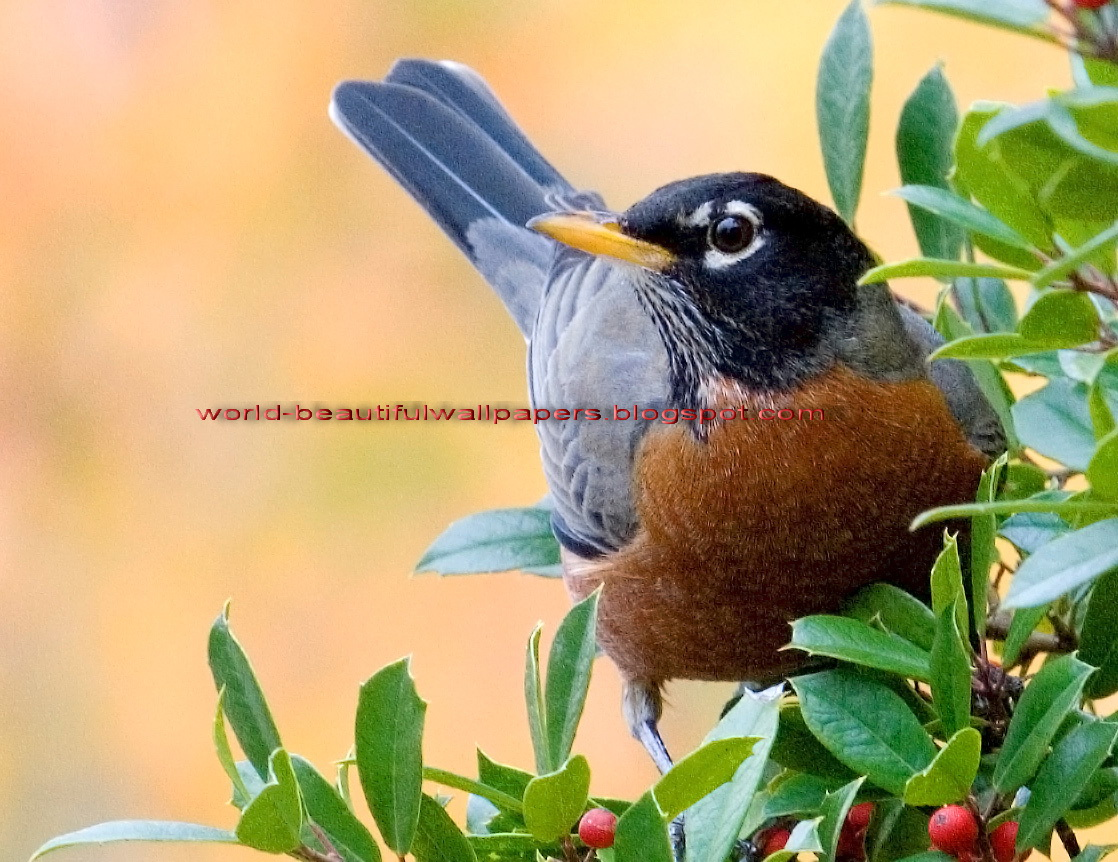 Beautiful Wallpapers: robin bird wallpaper