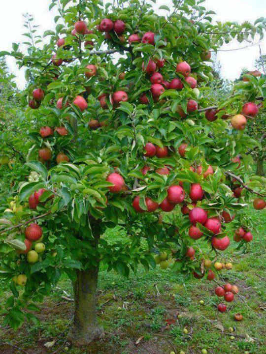 Fruit Trees | HD Wallpapers Update