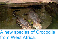 http://sciencythoughts.blogspot.co.uk/2014/03/a-new-species-of-crocodile-from-west.html