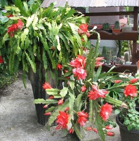 Epiphyllum Disocactus Ackermannii Indoor House plant pic