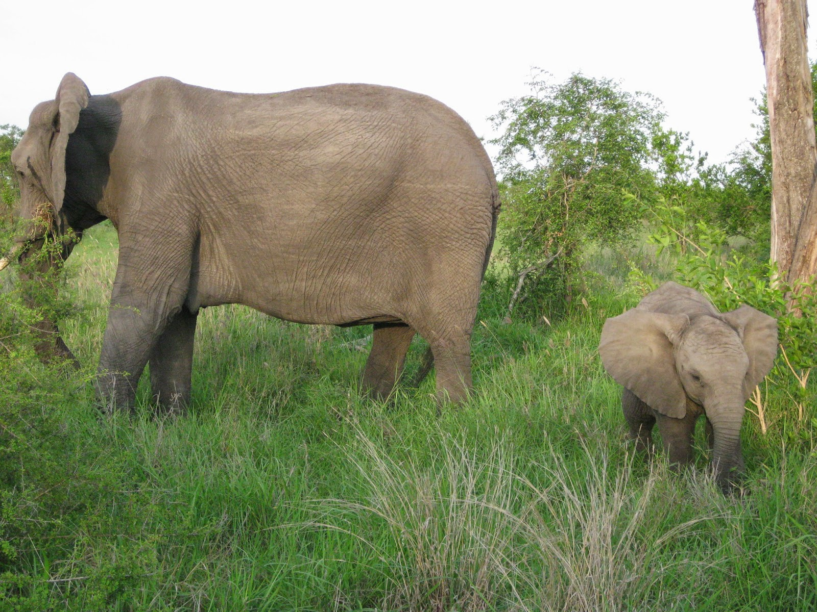 Sabi Sands - The baby elephant is curious