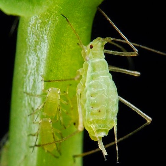 Pea aphid, a bug that can photosynthesize