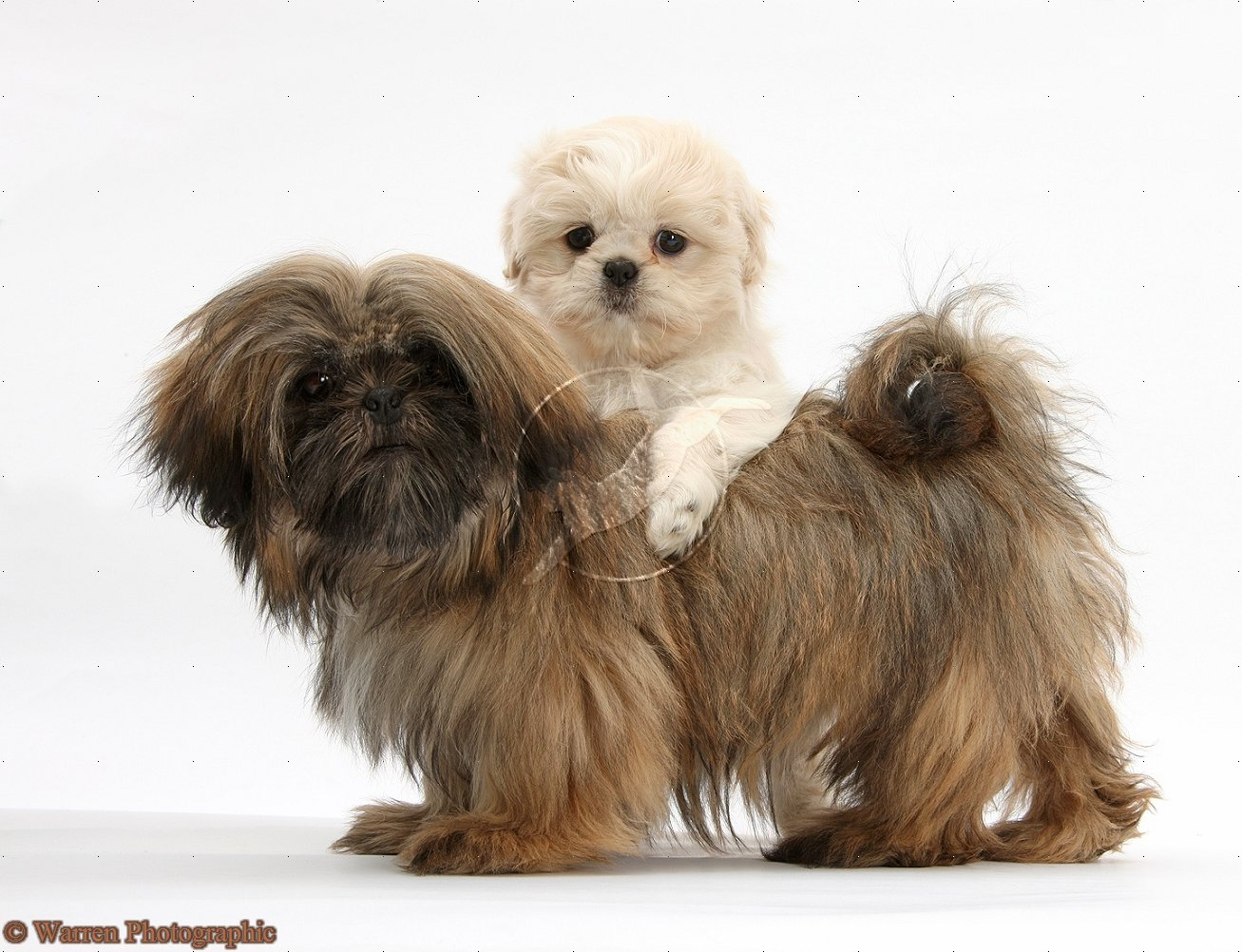Cute Puppy Dogs: brown shih tzu puppies