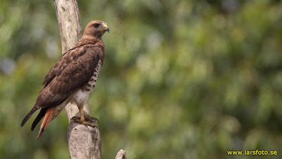 Red necked Buzzard