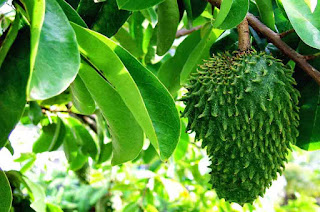 Advantages and Benefits of Soursop Leaves