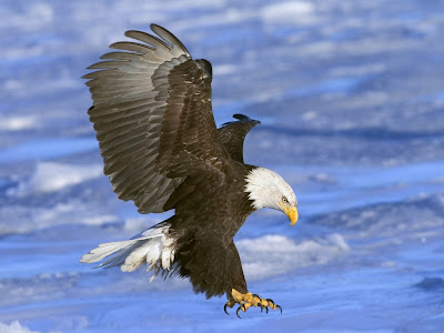 Eagle Standard Resolution HD Wallpaper 36