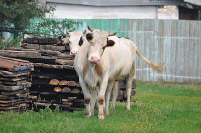 Коровы в деревне