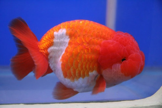 Dunia Ikan Hias - MAS KOKI LIONHEAD