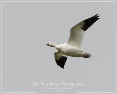 Ross's Goose. Copyright © Shelley Banks, all rights reserved.