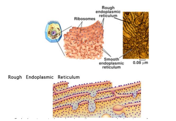 Perbandingan retikulum endoplasma kasar dengan retikulum endoplasma halus