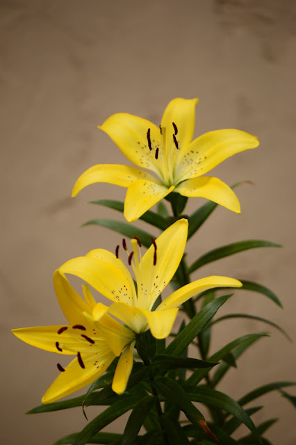 amy myers photography, lily, yellow, Asiatic lily