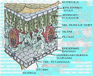 Fotosintesis pada Tumbuhan