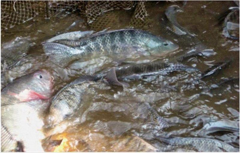 Usaha Ikan Nila